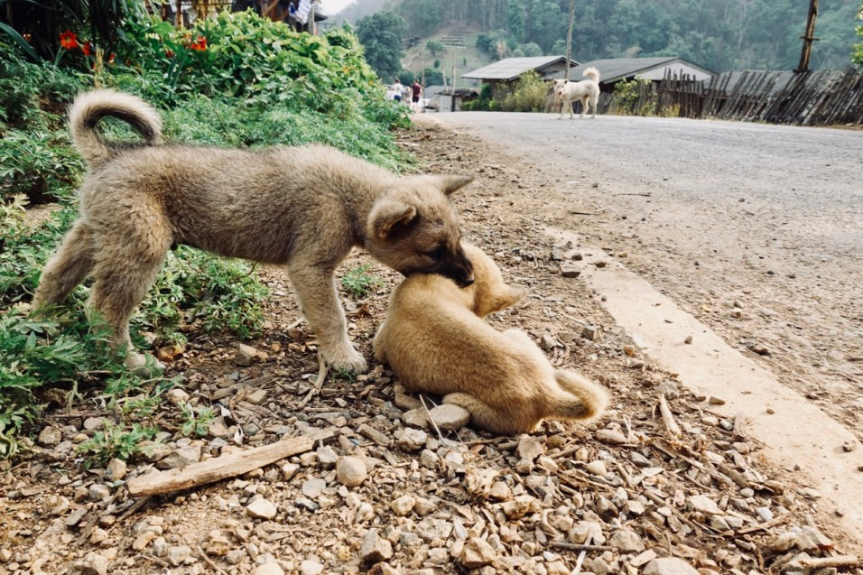 11 of the most beautiful dogs I met in Chiang Mai