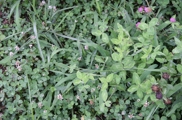 A weedy community of two clovers and grass