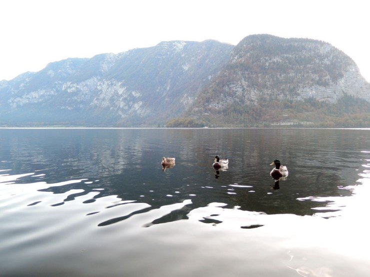 Ducks relaxing on a beautiful morning in Lake Hallstatt