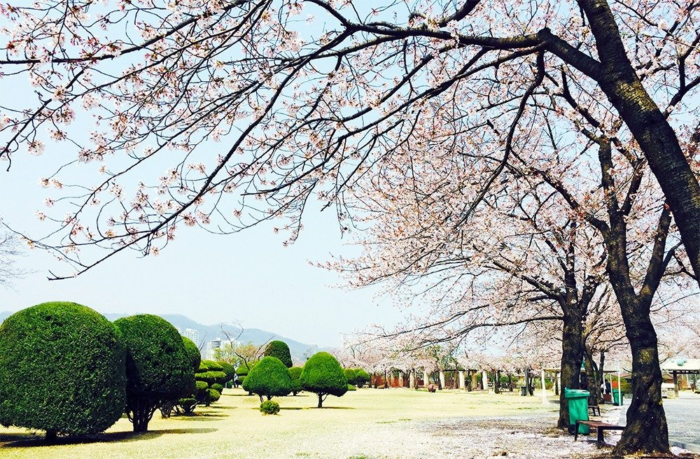 No matter how hectic life gets in Seoul, come springtime, locals and tourists all stop to smell the flowers. Seeing the cherry blossoms in Seoul is a great reason to visit South Korea in spring.