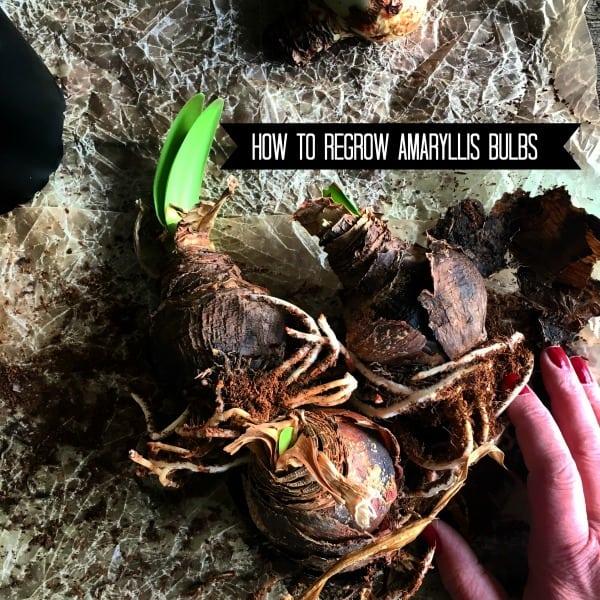 regrow-amaryllis