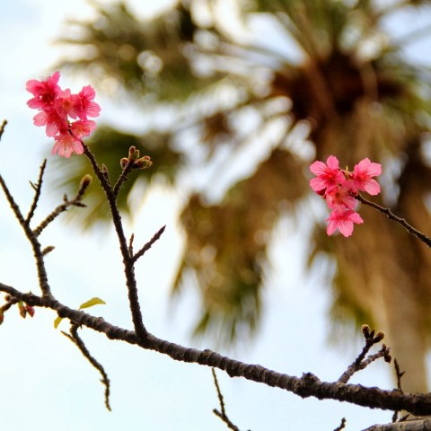 First Sakura Blooms at Yogi Park