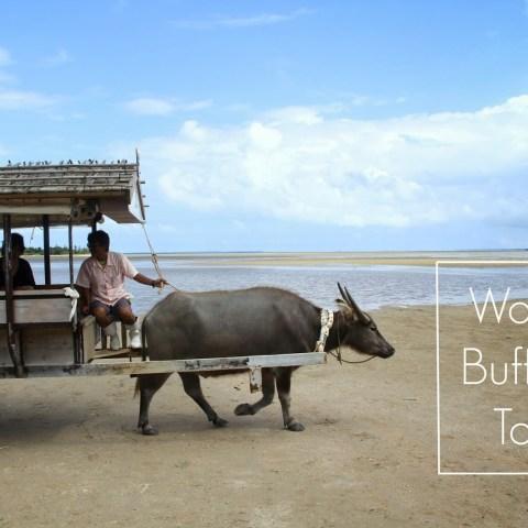 Water Buffalo Taxi – Iriomote Island to Yobu Island