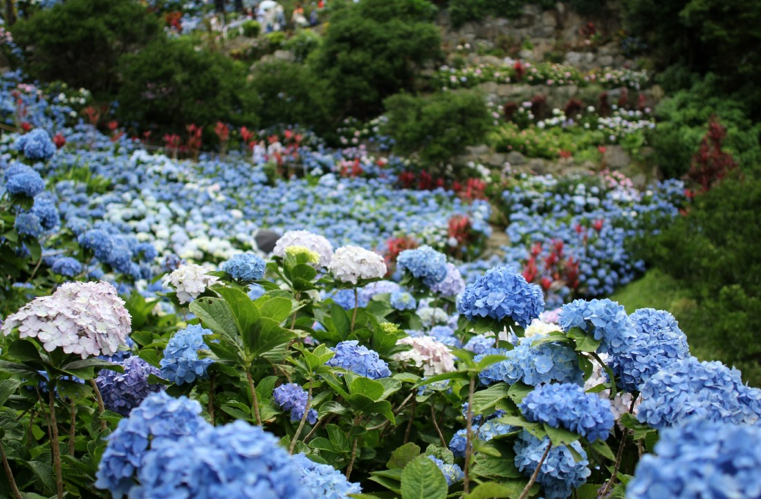 Yohena Ajisai (Hydrangea) Garden