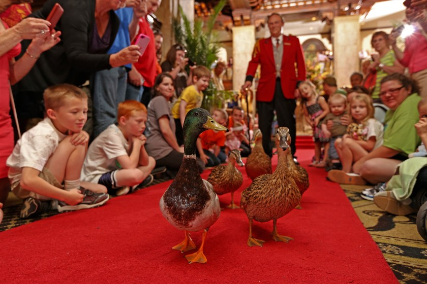 The march of the Ducks at the Peabody Hotel Memphis
