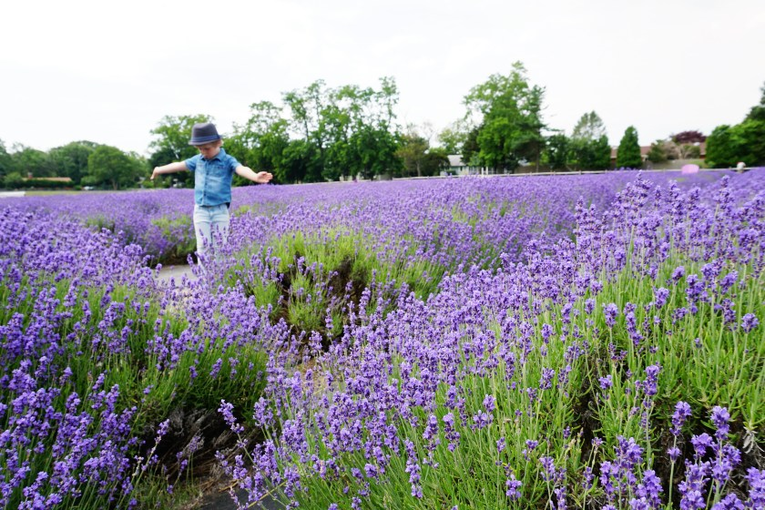 Lavender Fields at Lavender by the Bay