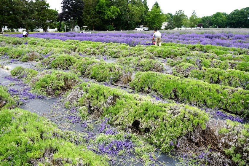 Harvesting the fields at Lavender by the Bay