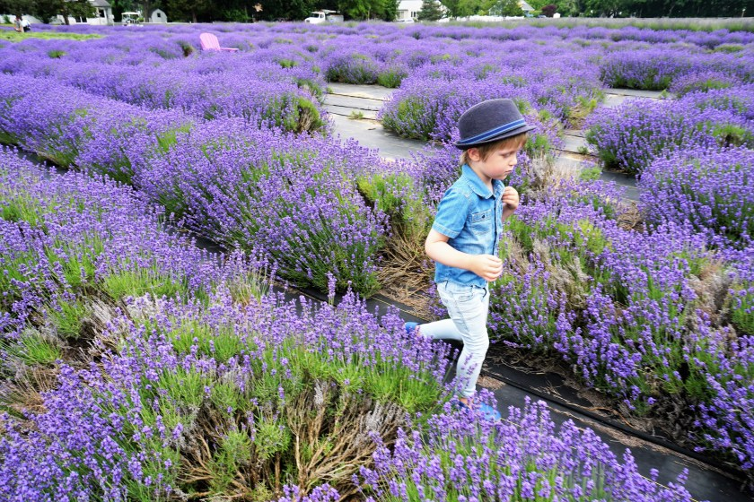 Running through the fields of Lavender by the Bay