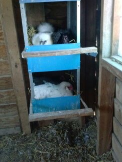 All 5 hens are in these two nesting boxes. A little cozy.