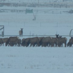 Over 300 elk moved in.  Fish and game moved them out.