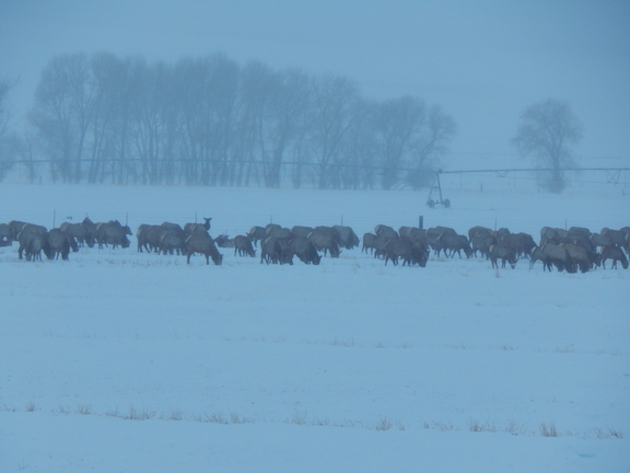 The herd of Elk