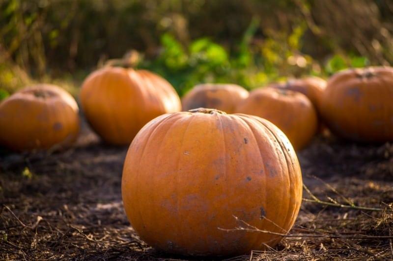 A field of pumpkins at a farm