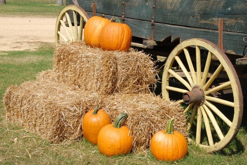 Pumpkins by a cart at a pick your own pumpkin farm