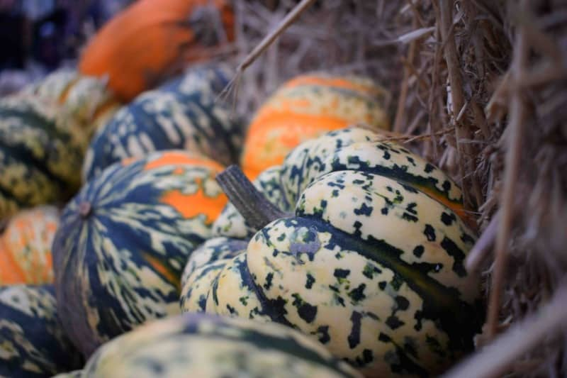 Some speckled pumpkins at one of the pick your own pumpkin farms
