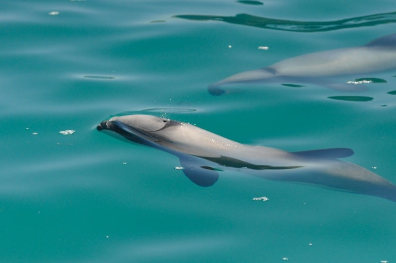 Hector's Dolphins in New Zealand