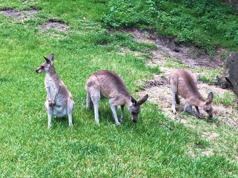 Kangaroos at Currumbin Wildlife Sanctuary in Qld Australia