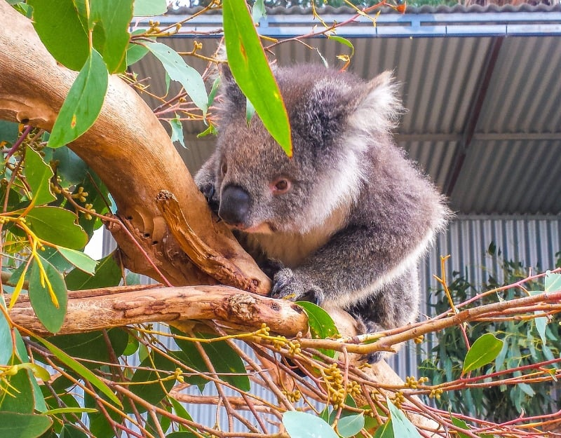 Seeing koalas in Kangaroo Island Wildlife Park is one of the best ethical animal experiences you can do.