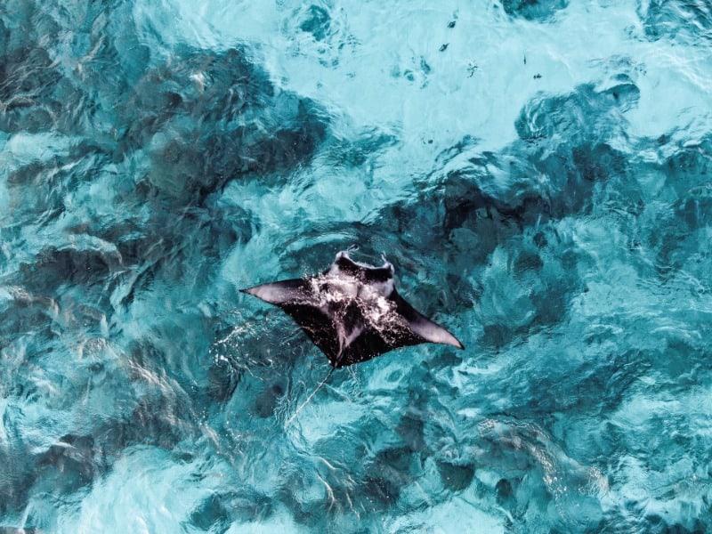 manta ray swimming in the shallows.