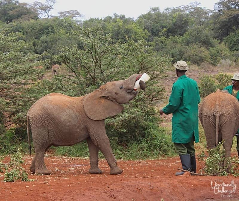 Seeing elephants at the Sheldrick Trust is one of the best ethical animal experiences.