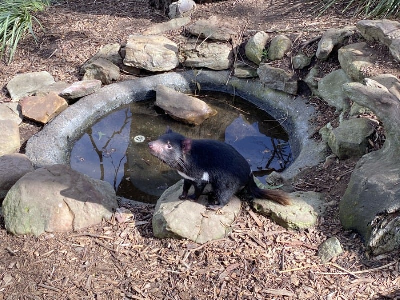 Seeing tasmanian devils are part of the ethical animal experiences at Bonorong Wildlife Sanctuary