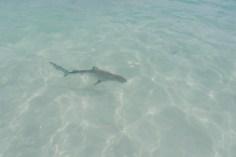 Tiburón baby