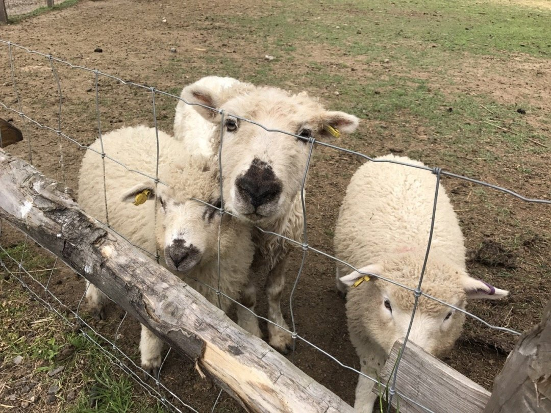 Farms in Essex - White Elm Petting Farm teddy bear sheep