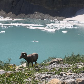 Bighorn Sheep at Grinnell Glacier