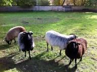 Austrian sheep!