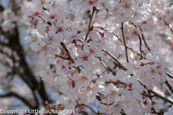 Blossom close up. This is the photo ALL the Japanese dudes were taking with their giant lenses!
