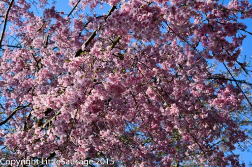 Blossoms on trees lining the Philosopher's path.