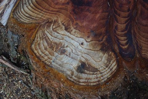 800px Tree rings from stump at Quatama and Cornelius Pass Road   Hillsboro Oregon - Science With Plants, If You're Behind, Like Me