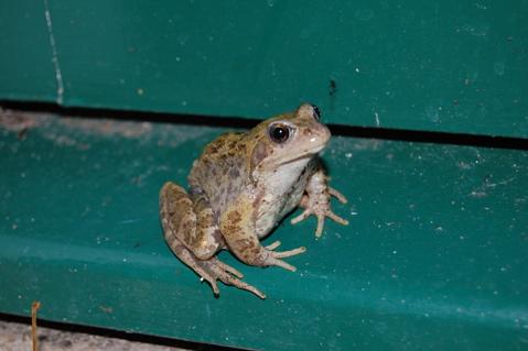 september-evening-frogs-1.jpg