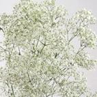 Gypsophila million star