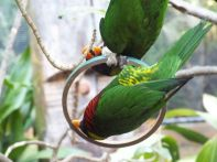 LORIKEETS HANGING AROUND