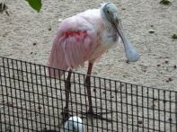 ROSEATE SPOONBILL SO PRETTY IN PINK BUT OH WHAT A FACE
