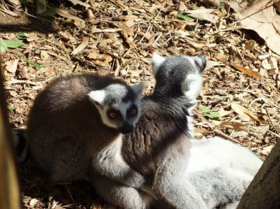 LEMURS AT PLAY