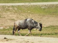 WILDEBEEST (GNU) OUT FOR A STROLL