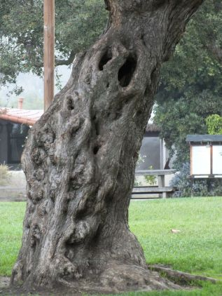 THEY SAY THERE ARE GHOSTS - DOES ONE LIVE IN THIS TREE?