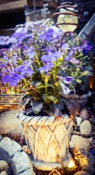 lobelia in miniature pots