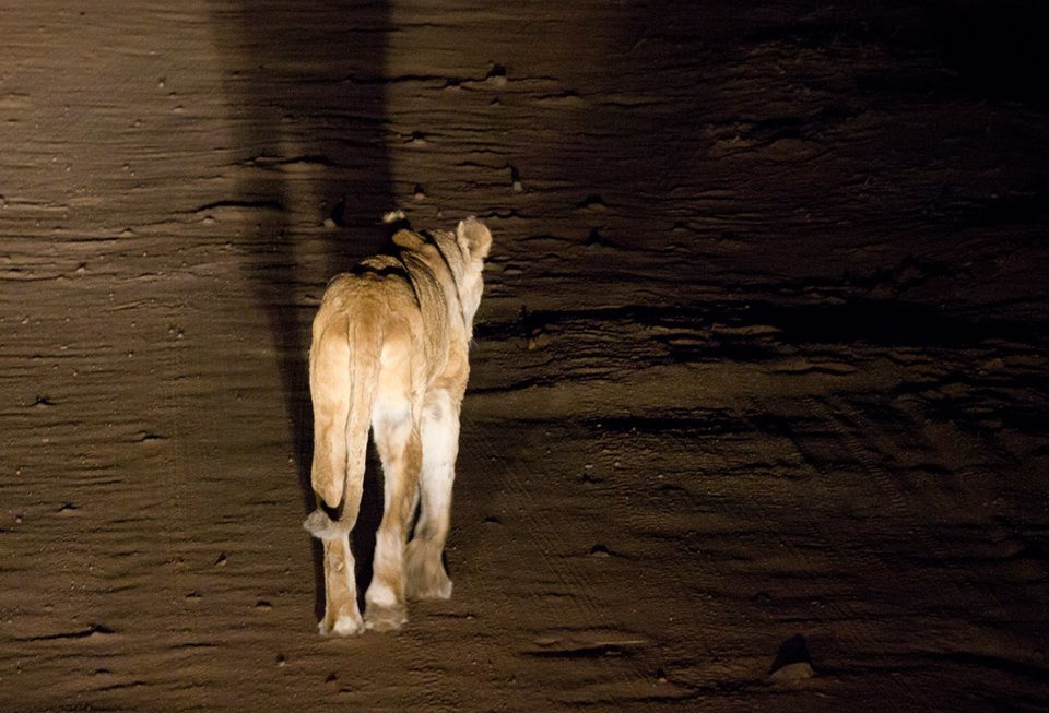 Lions in the dark at Kruger National Park