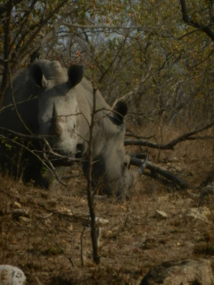 Rhino's in Kruger National Park