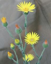 Camphor Daisy, aka Camphor Weed.