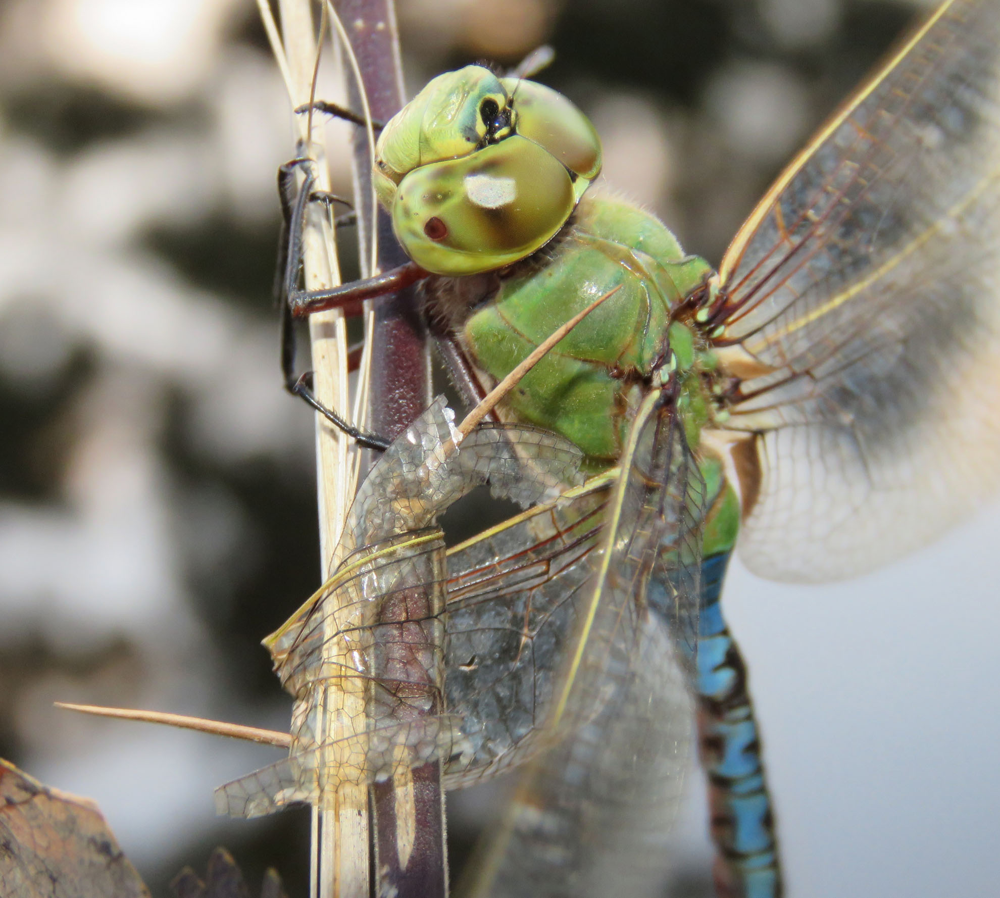 Dragonfly Detecting