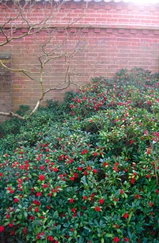 Skimmia bush