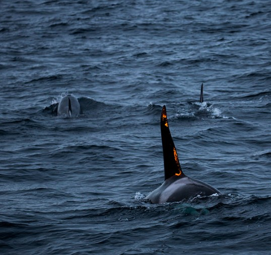 whalesnorway001