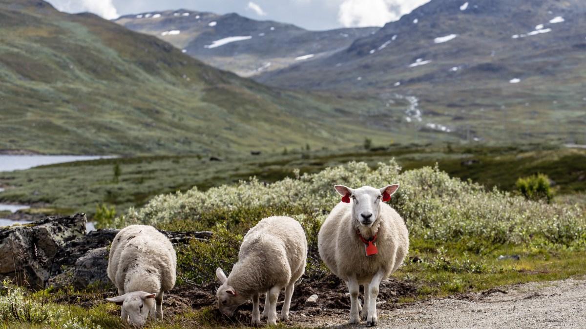 A Saturday Story: Night Flight of the Sheep