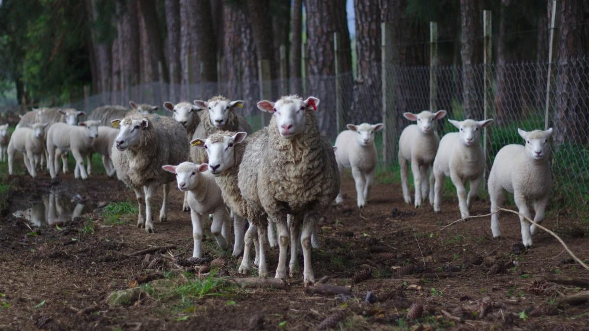Night Flight of The Sheep