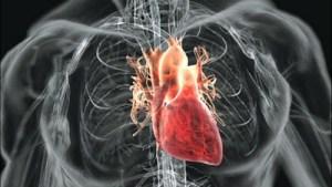 Сърцето на човек остарява по-бързо от другите органи