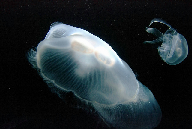 Jellyfish in the Aquarium at the California Science Center, Los Angeles, CA