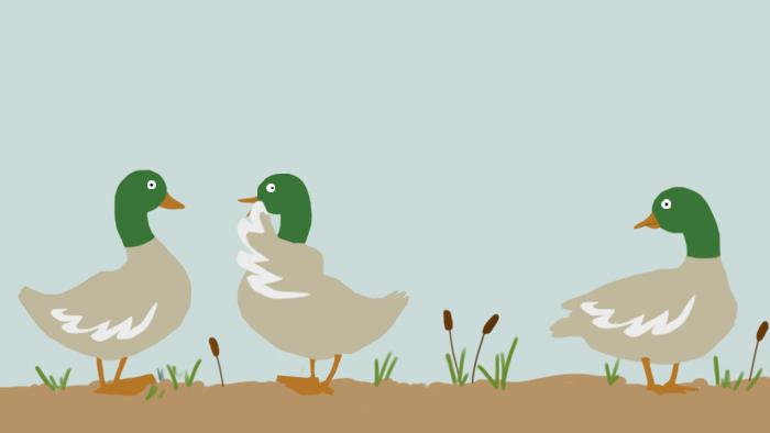 Deux canards se chuchotent des commérages alors qu'un troisième canard les observe